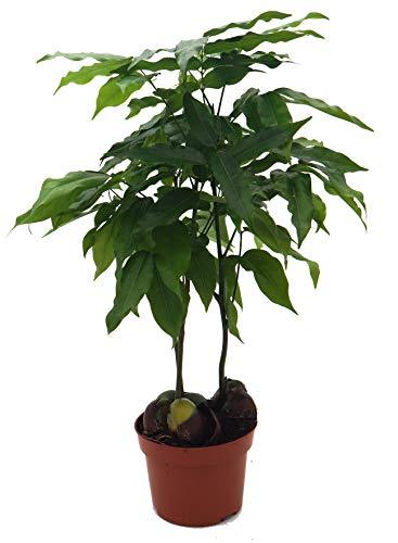Australische Kastanie (Castanospermum), exotische Zimmerpflanze (ca. 45cm hoch im 12cm Topf)
