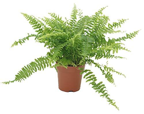 Schwertfarn, (Nephrolepis exaltata), luftreinigende Zimmer und Büropflanze, verbessert das Raumklima, (im 12cm Topf)