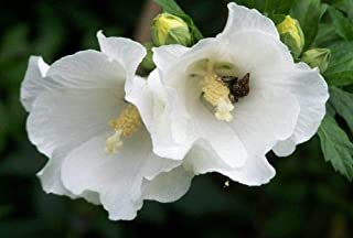 1 Packet of 20 Seeds Snow Drift, White Rose of Sharon, Shrub Althea - Malvaceae - Hibiscus Syriacus