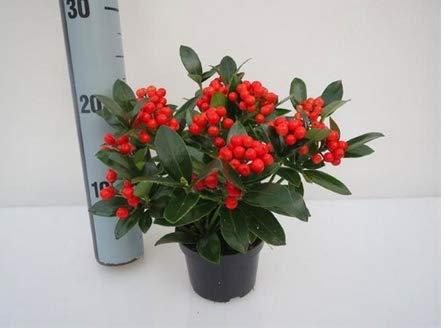 Skimmia jap. Temptation - japanische Fruchtskimmie orange-rote Beerchen - winterharter, immergrüner, blühender - Beeren-Strauch 11 cm Topf