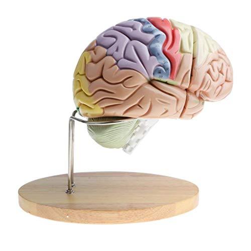 LBYLYH Modelo de anatomía del Cerebro Humano - Zonas funcionales humanas ampliadas 2 Veces Modelo troncal - Suministros de Laboratorio de Juguete de Ciencias de 4 Piezas Desmontables