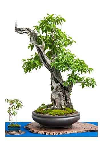 TROPICA -Bonsai-Japanische Kornelkirsche (Cornus officinalis) - 10 Samen