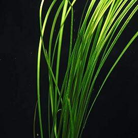 OrinocoPlants Vallisneria Nana 4 Töpfe