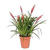 Vriesea'Multiflower Astrid' | Bromélia | Plante d'intérieur fleurie | Hauteur 40-45cm | Pot Ø 12cm