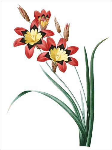 Posterlounge Leinwandbild 70 x 90 cm: Ixia Tricolor von Pierre Joseph Redouté - fertiges Wandbild, Bild auf Keilrahmen, Fertigbild auf echter Leinwand, Leinwanddruck
