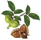 Vistaric 4 unids/bolsa Rare Nogal Semilla Deliciosa Fruta Perenne Tuerca Bonsai Planta de Árbol de Jardín En Maceta para Macetas Macetas