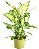 Shop Succulents   Standing Collection   Hand Selected, Air Purifying Live Dumb Cane Camille Ind…
