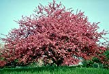 Profusion Red Flowering Crabapple Tree - 2 Year Old 4-5 Feet Tall