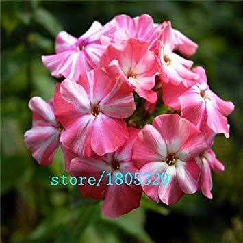 VISA STORE GGG New Arriv Home Garten seed500 Samen Phlox Twinkle Star, Phlox-Samen: Lila