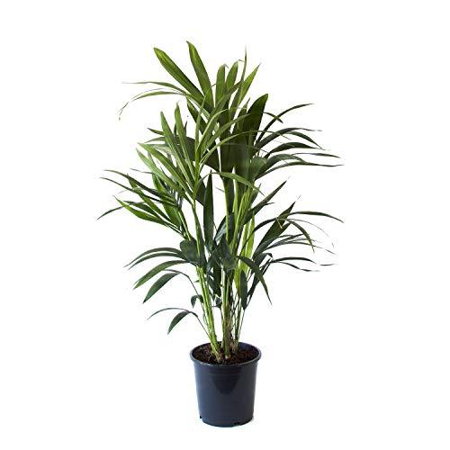 Plante dintérieur | Plante verte naturelle | Palmier Kentia | Hauteur 90-110 - 125 cm | Entretien facile (90, Sans cache pot)