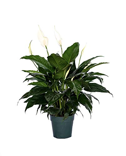 """Peace Lily Clean air Plant Friendship Foliage's Family Farm Quality Live Indoor Spathiphyllum (6"""" Pot, 14-18in Tall from Bottom of The Pot)"""