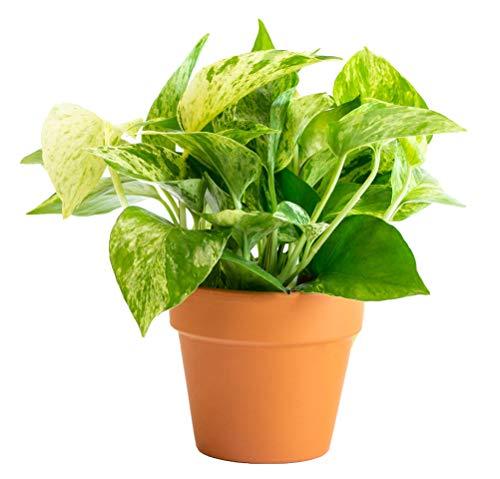 of fiskars indoor plants dec 2021 theres one clear winner LIVETRENDS/Urban Jungle Pothos Marble Queen in 4-inch Premium Terra Cotta Pot, (Live Plant)
