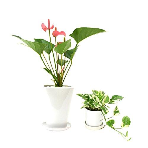 選べる観葉植物 陶器鉢2点セット (【4号】アンスリウム(ピンク)【3号】お好きな植物 (【3号】ポトス エンジョイ)