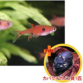 熱帯魚 ボララス マキュラータ ボルネオ6匹とカバクチカノコ貝1匹のセット 【北海道・九州・沖縄・離島は発送不可】 生体