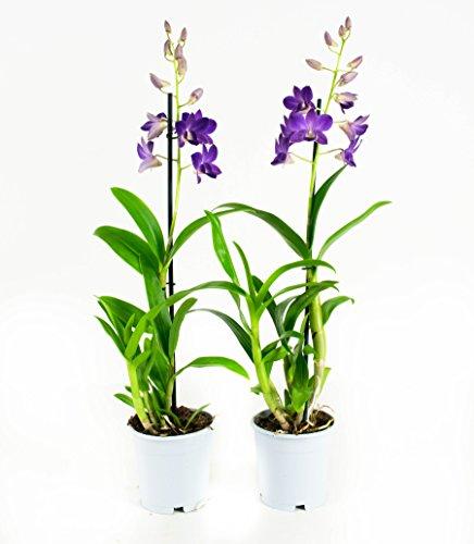 Lila Orchideen-Blume x2 | Dendrobium | Indoor-Anlage | Höhe 55 cm | Topf 11 cm | einfache Wartung