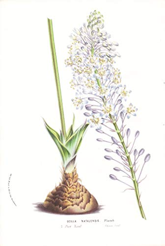Scilla Natalensis - South Africa...