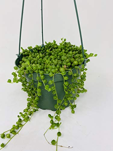 """Jmbamboo - Large String of Pearls Succulent- 6"""" Hanging Basket - Senecio - Easy to Grow"""