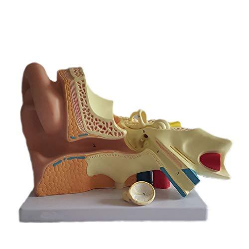 DADAKEWIN Oído Modelo Anatómico Modelo Magnificado Humano Modelo Modelo Medio Modelo Humano Anatomía Anatomía Audífono Audífono (Color : 5 Times Larger Anatomical Ear)