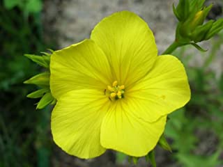 500 GOLDEN FLAX Yellow Linseed Common Linum Flavum Flower SeedsComb S/H