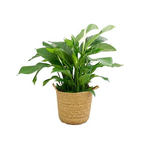 Zimmerpflanze von Botanicly – Einblatt...