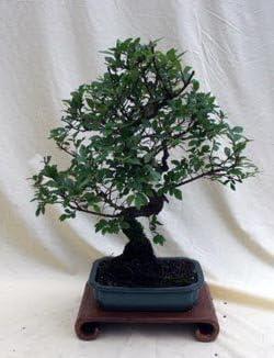 Specimen Chinese Rapid rise Elm Bonsai Ranking TOP14 Tree in Hollow C 8