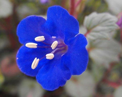 200 Phazelie (Wild Canterbury Bell/Desert Blue Bell) Phacelia Campanularia Blumensamen