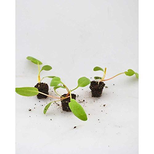 Gemüsepflanzen - Rhabarber/Poncho® - Rheum rhabarbarum - 3 Pflanzen im Wurzelballen
