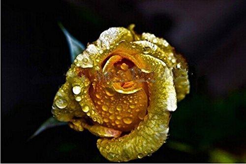 200 PC miniascape d'or jaune rare graines, belle graine de la couleur des fleurs rares, arôme riche, promotion bricolage jardin rose !!!