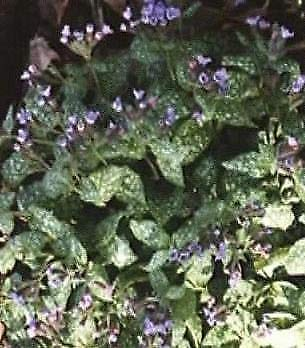 Pulmonaria (Lungenkraut) officinalis 100 Samen