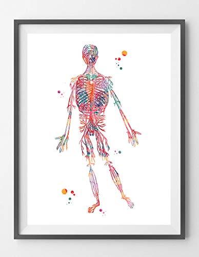 Póster de arterias del sistema circulatorio humano, impresi