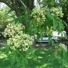 BEE Baum Evodia Hupehensis 25,50,100,200 Seeds