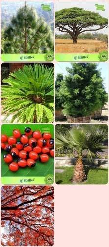 Pinkdose Jardin Arbre Plantes pour la Maison Podocarpus Gracillior, Abrus precatorius, Livistona chinensis