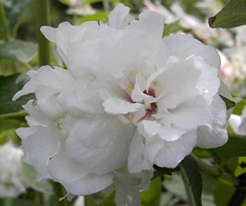 Gartenjasmin Snowgoose - Pfeifenstrauch - Falscher Jasmin - Bauernjasmin - Philadelphus Snowgoose - stark duftend (40-60)