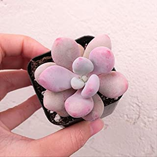 Moonstones Succulent - Pachyphytum Oviferum - Pink Moonstone Plant - Pebble Rosette Pink - Live Plant - Best for Gift (2