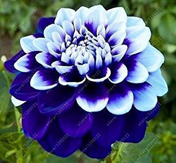 vista Bulbos de dalia real, flor de dalia, bulbos de flor de bonsái (no semillas de dalia), planta perenne en maceta Raíz bulbosa para jardín 2 uds. 25