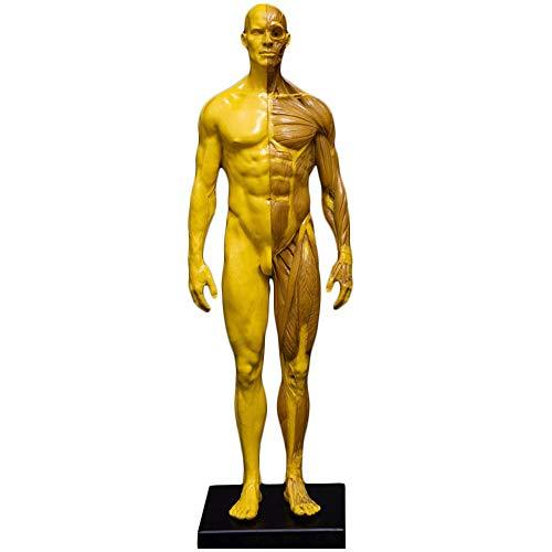 FHUILI Human Anatomy Altura - Músculo Femenino/Masculino anatomía Humana anatómica de la Figura Bone Modelo - musculoesqueléticos del Cuerpo Humano Modelo anatómico,Male