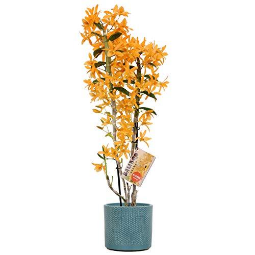 Orchidee von Botanicly – Bambus Orchidee in tealfarbenem Misaki Keramiktopf als Set – Höhe: 50 cm, 2 Triebe, orangene Blüten – Dendrobium nobile Firebird