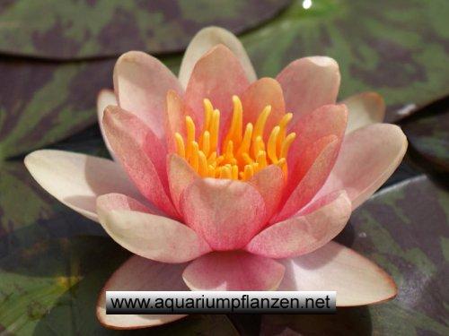 1 Zwergseerose der Sorte Pygmaea Chrysantha, kupfergelb, Teichpflanzen, Wasserpflanzen