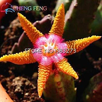 VISTARIC Negro: 2016 Semillas venta 50pcs carnosas de la planta suculenta de Lithops Stone Flower Seed Bonsai Cactus plantas en maceta mini decoración de la nave libre