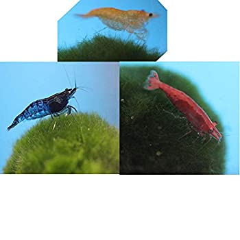 Family of 12 Mixed Color Live Freshwater Shrimp for Aquarium or Fish Tank