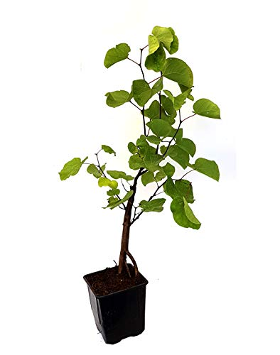 Seedeo® Judasbaum (Cercis siliquastrum) Pflanze ca. 20 cm