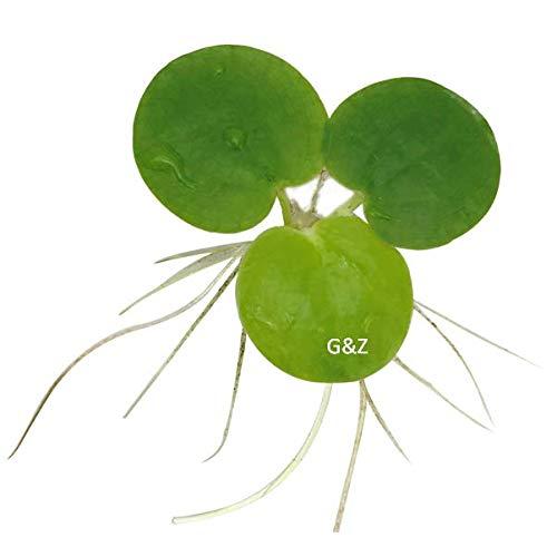 12 Amazon Frogbit (Limnobium Laevigatum), Live Aquarium/Aquatic Floating Plant by G&Z