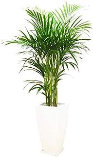 アレカヤシ 優雅なヤシの木 陶器鉢 角型 観葉植物 インテリア 中型 大型 お祝い 自宅用 プレゼント