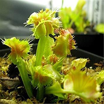 VISTARIC 2014 Echt Very Easy Sementes Sementes De Flores Qualitäts-100% ursprüngliches 10pcs Mischungsfarbe Aquarium Pflanzensamen