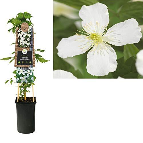 Waldrebe Clematis Montana Grandiflora 60-80 cm Kletterpflanze