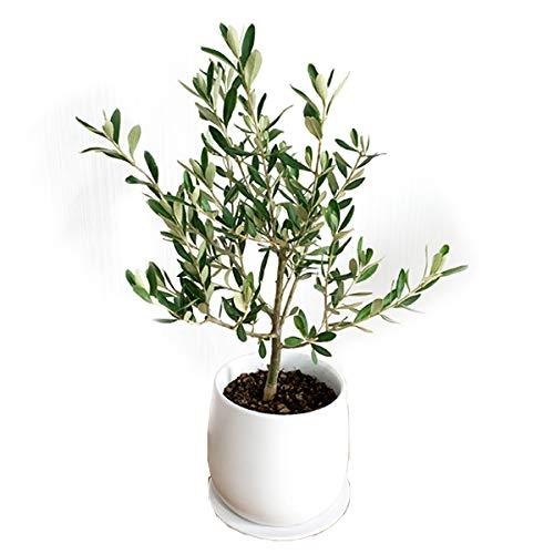 オリーブの木 ホワイト陶器鉢植え 観葉植物 卓上 本物 SOUJU 創樹 インテリア ミニ