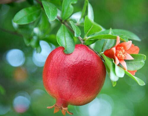 Melograno Wonderful piante melograno da frutto di 2 anni h.70 cm in vaso ø15 cm