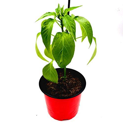 Balkon Paprika Pflanze CAPSICUM ANNUUM 'MIDI Orange' Gemüse Pflanze 2er Set