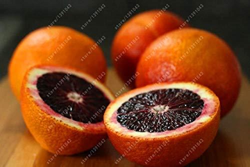 Pinkdose 20 Orange Samen Blutorange Mandarinenbaum NO-GMO seltene Obstbaumsamen für zu Hause Garten Bepflanzung