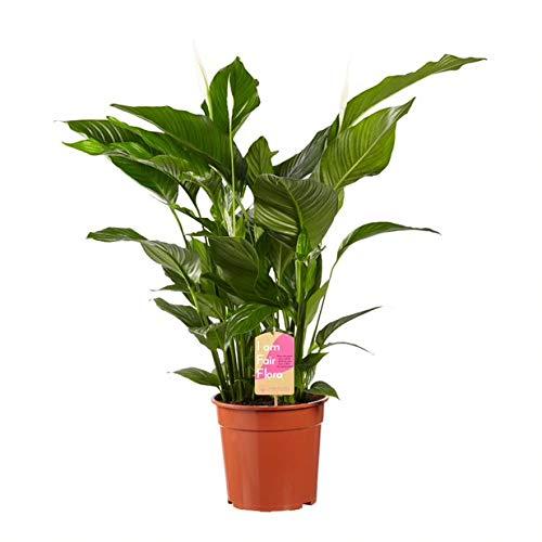 Nachhaltig produzierte Zimmerpflanze von FAIR FLORA® – 1 x Einblatt – Höhe: ca. 100 cm – Lat. Name: Spathiphyllum Sweet Lauretta